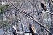 Bald Eagle 6 Pennsylvania.jpg