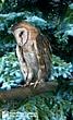 Barn Owl 1.jpg