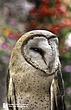 Barn Owll 21.jpg
