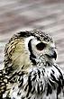 Boreal Owl.jpg