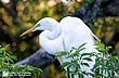 Great-Egret-3.jpg