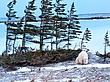 Polar-Bear--218-9.25x12-WEB.jpg