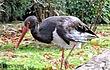 Red-Billed-Stork-1.jpg