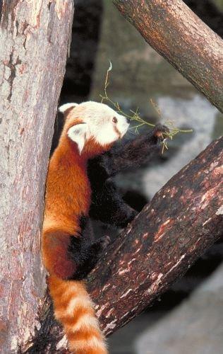 Panda100.jpg