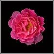pink-rose-3a1.jpg