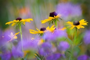 coreopsis and mixed wildflowers in spring meadow