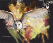 Owl-flying.jpg