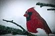cardinal07.jpg