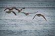 geese021.jpg