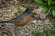 Adult Robin.jpg
