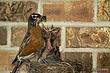 Robins nesting2.jpg