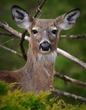 Deer 6865w.jpg