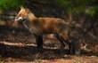 Foxy Lightw.jpg