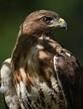 Hawk at Crosswaysw.jpg