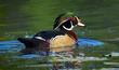 Wood Duck Colors 2w(1).jpg