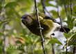Bellbird along Kelvin Heights track.jpg