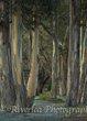 Eucalyptus trees at Wilsons Bay.jpg