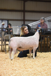 18HCD-BreedingSheep-5543.jpg