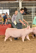18JW-BreedingGilts-5882.jpg