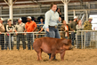 18JW-BreedingGilts-6129.jpg