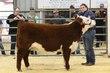 19KC_Breeding CattleHS_2088.jpg