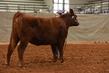 19NC-Cattle-8454.jpg