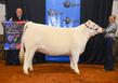 19NC-cattle-7387.jpg
