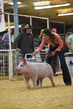 19SC-Swine-6738(1).jpg