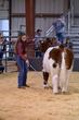 20HCC - Market Steers - Heifers-3011(1).jpg