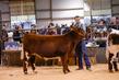 20HCD - Market Steers-3203(1).jpg