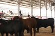 20JW-CattleSteerHS-0613.jpg