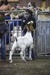 21KKC- Market Goat Showmanship HS-2523(1).jpg