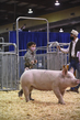 21KKC- Market Hog - Showmanship HS-3469.jpg