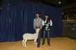 21KKC- Market Sheep BD-4478.jpg