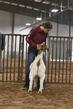 21TC- Market Goat HW-HS-7223.jpg