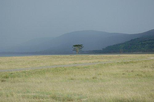Acacia tree Lake Nukuru Kenya  10-8-07_162.jpg