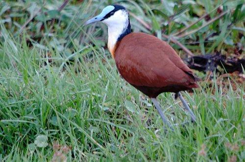 African Jacana - Actophilornis afracana - Lake Navasha NP 10-10-07_414.jpg