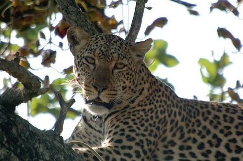 African Leopard - Panthera pardus pardus - Serengeti NP Tanzania 10-14-07 1_079.jpg