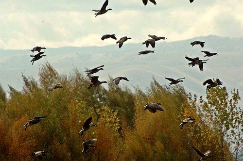 Aluetian Cackling Goose - Branta hutchinsii - San Joaquin NWR CA 11-25-11_145.jpg