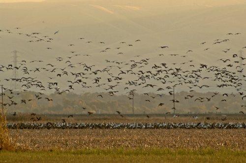 Aluetian Cackling Goose - Branta hutchinsii - San Joaquin NWR CA 11-25-11_150.jpg