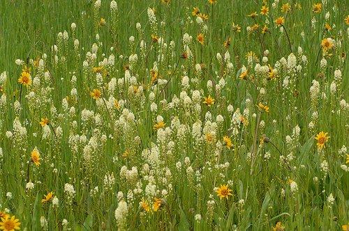 American Bistort - Bistorta bistortoides - Crane Flat Yosemite NP CA 6-14-09_402.jpg