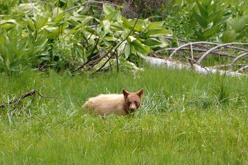 American Black Bear - Ursus americanus - Crane Flat CA 6-14-09_006.jpg