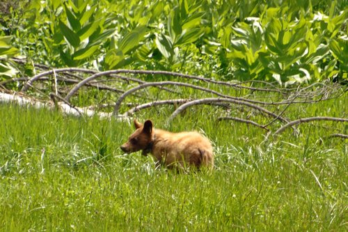 American Black Bear - Ursus americanus - Crane Flat CA 6-14-09_031.jpg