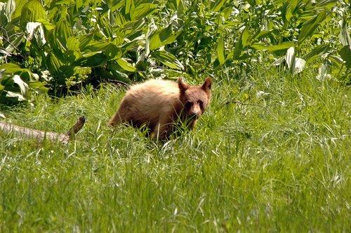 American Black Bear - Ursus americanus - Crane Flat CA 6-14-09_113.jpg