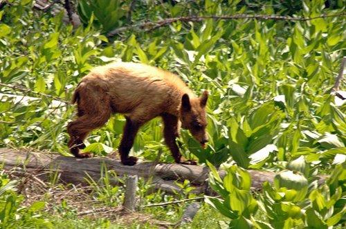 American Black Bear - Ursus americanus - Crane Flat CA 6-14-09_150.jpg