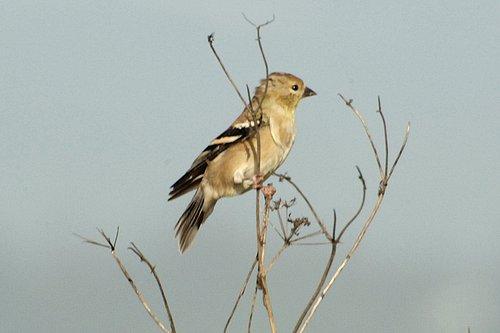 American Goldfinch - Spinus tristis - Humbolt CA 9-7-09_018.jpg