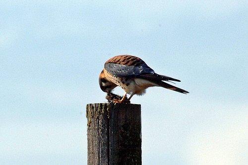 American Kestrel - Falco sparverius - San Luis NWR CA 12-31-10_264.jpg