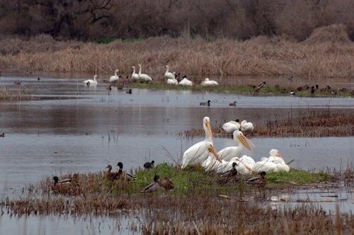 American White Pelican - Pelecanus erythrorhynchos - Merced NWR CA 1-24-10_049.jpg