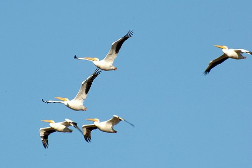 American White Pelican - Pelecanus erythrorhynchos - Merced NWR CA 11-13-11 11-25-11_036.jpg