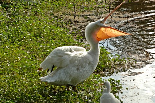 American White Pelican - Pelecanus erythrorhynchos - San Francisco CA 10-8-09_247.jpg